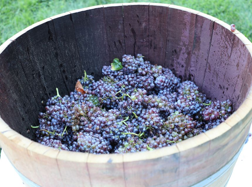 Annual Grape Stomp Event